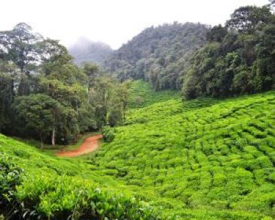 10 utilizari surprinzatoare ale frunzelor de ceai verde