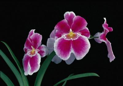 Miltonia, orhideea cu nume nobil