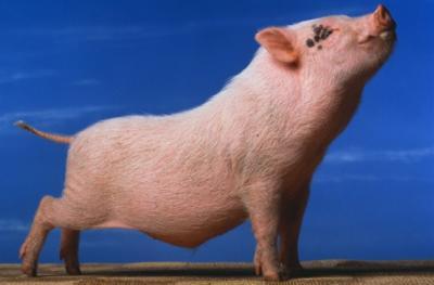 Fermierii din Timis cresc porci ecologici, cu carne fara colesterol