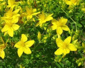 9 plante medicinale si efectele lor adverse