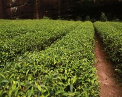 5 beneficii surprinzatoare ale uleiului esential de arbore de ceai