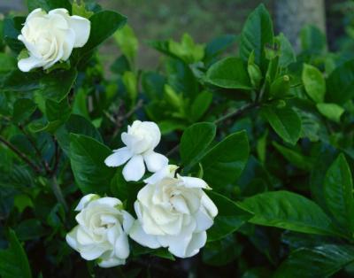 Gardenia jasminoides, planta morocanoasa cu iz asiatic