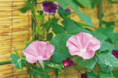 Zorelele, trompetele diminetii sau florile care se deschid la lumina soarelui