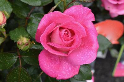 Apa de trandafiri: Remediu 100% Natural Pentru Tenul cu Probleme