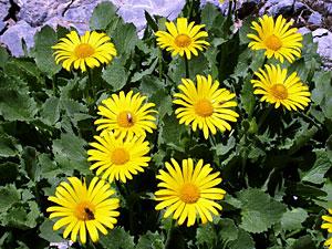Arnica - Afla ce afectiuni pot fi vindecate cu ajutorul acestei plante medicinale