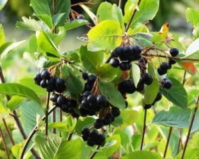 Fructul care incetineste imbatranirea si distruge celulele canceroase
