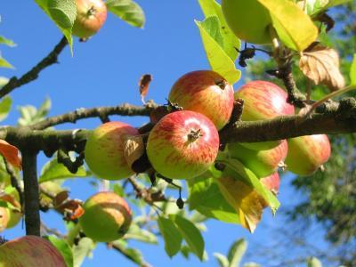 Otetul de mere are efecte miraculoase asupra organismului
