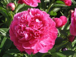 Un extract din floarea de bujor atenueaza efectele secundare ale chimioterapiei