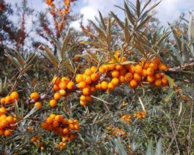 Beneficiile uleiului de catina