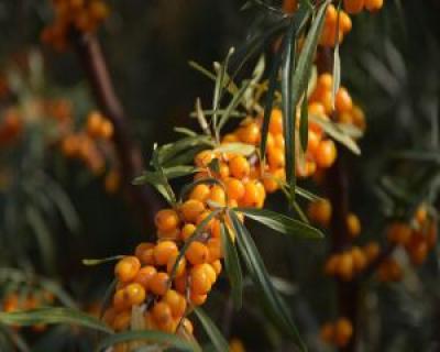 Catina si ceaiul de catina - remediu naturist pentru diverse boli si afectiuni