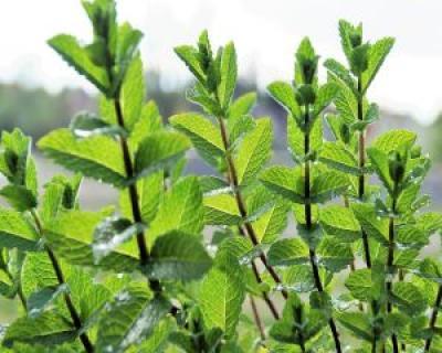 Ceaiul cu menta, ideal pentru imunitate, digestie si slabire