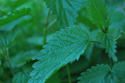 Ceaiul de urzica are efect detoxifiant si regenereaza organismul