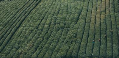 Ceaiul verde reprezinta alegerea perfecta pentru sanatate de invidiat. Iata de ce!