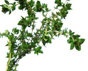 Cimbrisorul si ceaiul de Cimbrisor - planta medicinala cu efecte uimitoare pentru sanatate