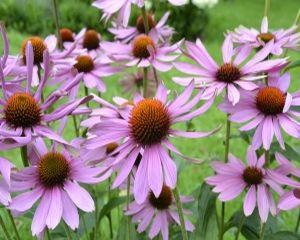 Echinaceea, remediu naturist pentru diverse afectiuni