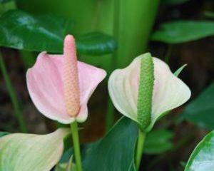 Cum se ingrijeste Floarea Flamingo (Anthurium) ?