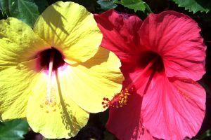 Hibiscus - 8 beneficii incredibile pentru sanatate