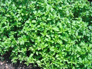 Maghiran - planta medicinala cu numeroase proprietati terapeutice