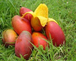 Mango, fruct exotic cu numeroase beneficii pentru sanatate