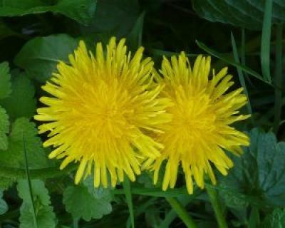 Plante care sprijina digestia si asigura o stare buna de sanatate