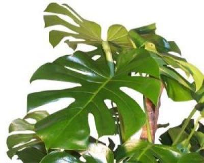 Filodendron sau Philodendron, arborele prietenos