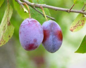 5 beneficii ale consumului de prune