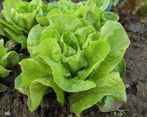 Salata verde, sursa excelenta de vitamine si minerale