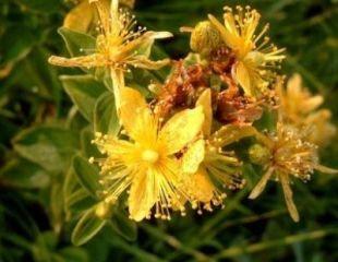 Planta care alunga tristetea si durerea de cap