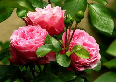 3 trandafiri usor de cultivat in gradina ta