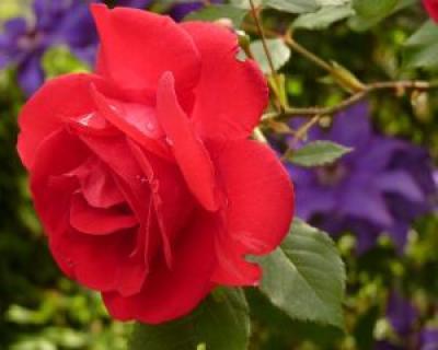 Cum sa iti prepari propriul parfum de trandafiri