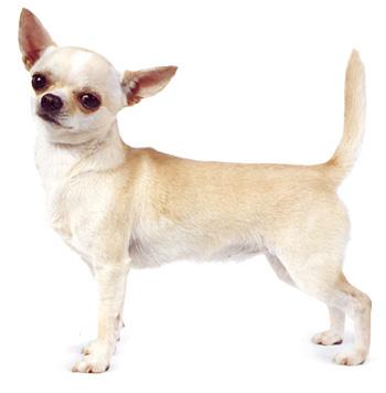 caine Chihuahua
