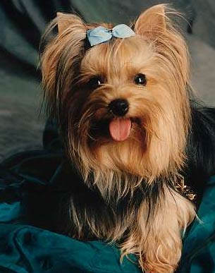 caine Yorkshire Terrier