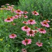Echinaceea - planta care combate raceala si gripa