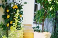 Cum se poate obtine un lamai sau portocal din inmultirea prin seminte