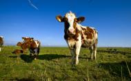 Animalele hranite cu OMG-uri nu au probleme de sanatate