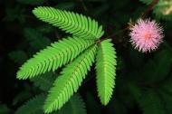Mimosa pudica, planta rusinoasa