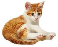 Alegerea pisicii potrivite. Femela sau mascul? Pui sau adult?