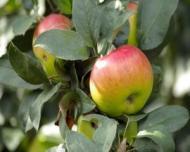 5 beneficii mai putin cunoscute ale consumului de mere BIO