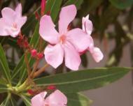 Cele mai periculoase flori de apartament