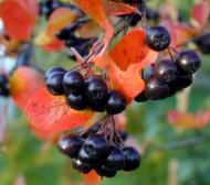 Aronia - un fruct cu numeroase beneficii pentru sanatate