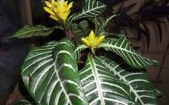Afelandra sau Aphelandra, planta cu floare-spic