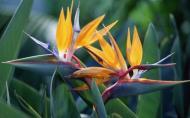 Strelitzia reginae, floarea-pasare a paradisului