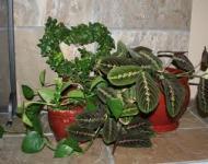 5 plante de apartament cu efecte toxice