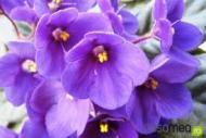 Violetele de Parma