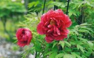 Plante Feng Shui: Bujorul, regele florilor