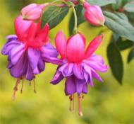 Cercelusul sau Fuchsia, cea mai cocheta floare dintre flori
