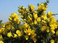 Cele 38 de remedii florale Bach - 22
