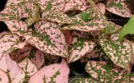 Pistruiatul plantelor sau Hypoestes, planta cu pistrui