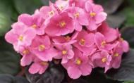 Saintpaulia, Violeta africana sau Violeta de Uzambar