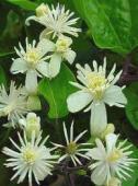 Cele 38 de remedii florale Bach - 12